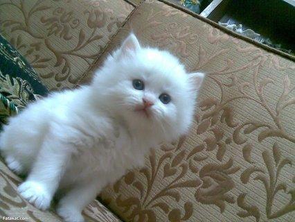 بالصور اصغر قطه في العالم , قطة الفنجان ذات الحجم الصغير 2755 6