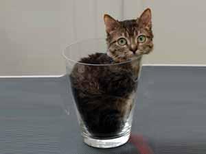 بالصور اصغر قطه في العالم , قطة الفنجان ذات الحجم الصغير 2755 8