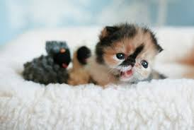 بالصور اصغر قطه في العالم , قطة الفنجان ذات الحجم الصغير 2755 9