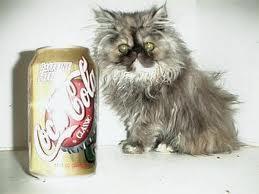 صوره اصغر قطه في العالم , قطة الفنجان ذات الحجم الصغير