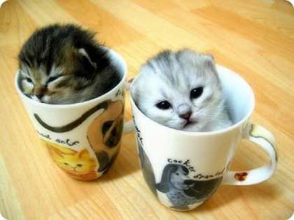 بالصور اصغر قطه في العالم , قطة الفنجان ذات الحجم الصغير 2755