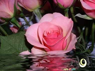 صوره صور زهور ورود , اروع الاشكال والالوان المبهرة