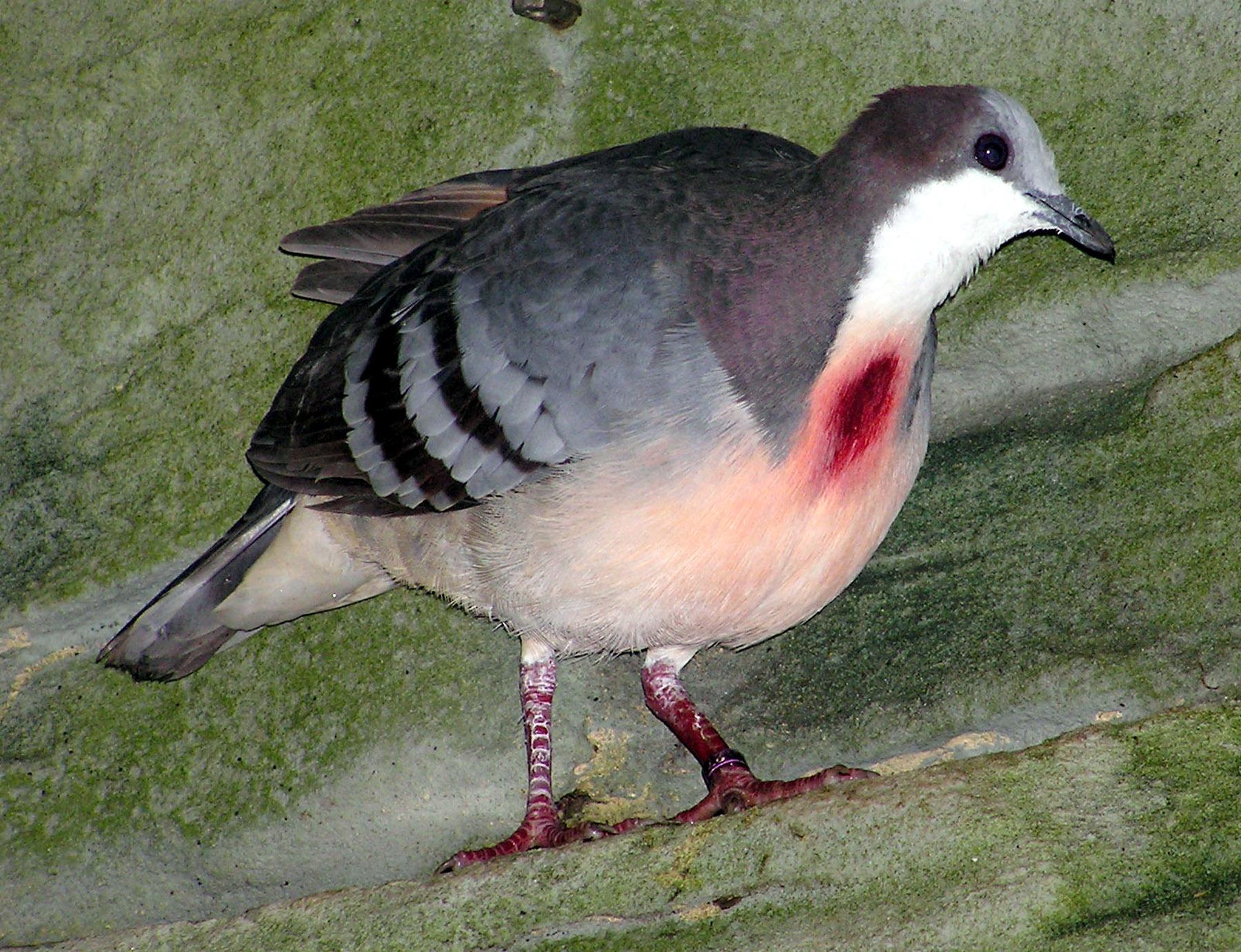 صوره حمامة القلب الدامي , اجمل طيور الفلبين
