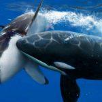 اضخم الحيوانات في العالم , الحوت الازرق العملاق