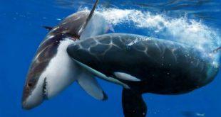 صوره اضخم الحيوانات في العالم , الحوت الازرق العملاق