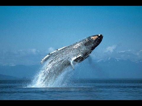 صورة اضخم الحيوانات في العالم , الحوت الازرق العملاق