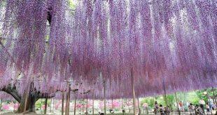 حديقة اشاكيكا في اليابان , روعة و جمال الازهار النادرة