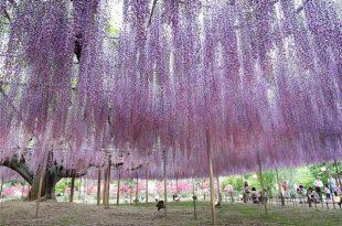 صوره حديقة اشاكيكا في اليابان , روعة و جمال الازهار النادرة