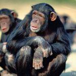 اجمل صور قرود , صور لحيوان مضحك ومسلي