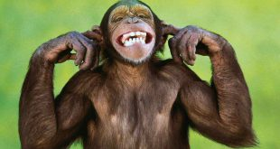 صور قرود مضحكه , اجمل الكائنات و اشدها طرافة