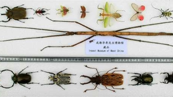 صوره اطول حشرة في العالم , توجد في الصين غريبة الشكل