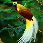 اغرب طائر بالعالم , صور عجيبة لطيور الجنة