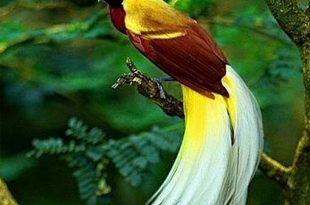 صورة اغرب طائر بالعالم , صور عجيبة لطيور الجنة