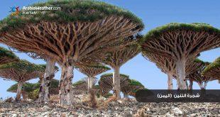 اغرب اشجار في العالم , صور شجرة دم التنين العجيبة