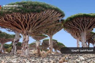 صوره اغرب اشجار في العالم , صور شجرة دم التنين العجيبة
