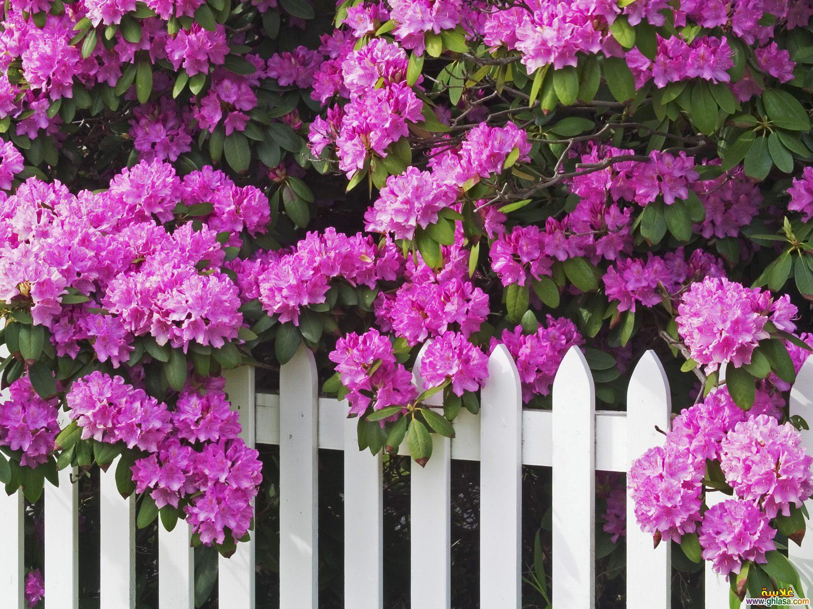 صوره خلفيات لاب توب ورود , صور متميزة لزهور مذهلة