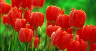 خلفيات لاب توب ورود , صور متميزة لزهور مذهلة