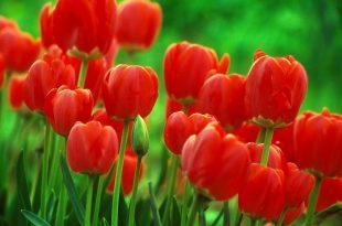صورة خلفيات لاب توب ورود , صور متميزة لزهور مذهلة