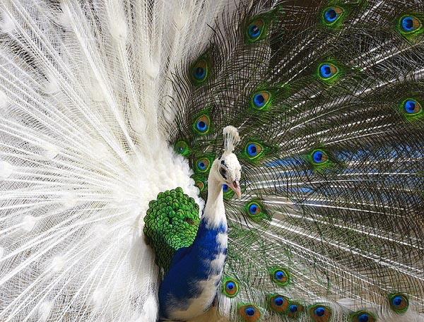 صورة صور اجمل طاووس في العالم , الوانة المختلفة الزاهية والمبهرة