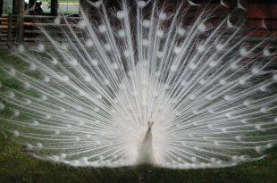 صوره صور اجمل طاووس في العالم , الوانة المختلفة الزاهية والمبهرة