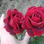 صور زهور وورود , تشكيله زهور وورود للاحباب ولا اجمل