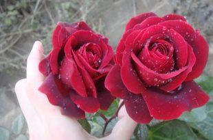 صوره صور زهور وورود , تشكيله زهور وورود للاحباب ولا اجمل