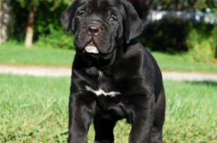 صورة صور كلاب سوداء , اللون الاسود وجماله فى الكلاب