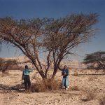 شجرة الغرقد اليهودية , تعرف على شجره الغرقد واهميتها لدى اليهود