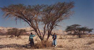 صوره شجرة الغرقد اليهودية , تعرف على شجره الغرقد واهميتها لدى اليهود