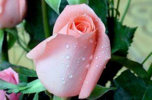 صوره صور زهور رائعة , الزهور وجمالها ومحبيها