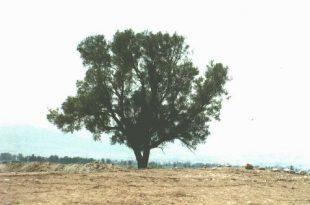 بالصور الشجرة التي تحمي اليهود , صور شجرة الغرقد التى يختبئ خلفها اليهود 4949 11 310x205