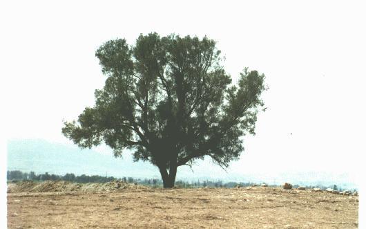 الشجرة التي تحمي اليهود , صور شجرة الغرقد التى يختبئ خلفها اليهود