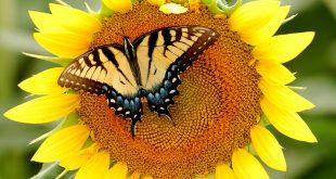 صور لاجمل الفراشات , عندما نرى جمال الكون على جناح فراشه