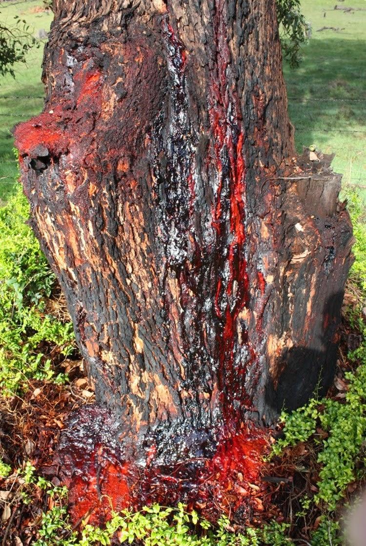 بالصور الشجرة التي تنزف دما , بالصور شجرة تنزف دما فى جنوب افريقيا