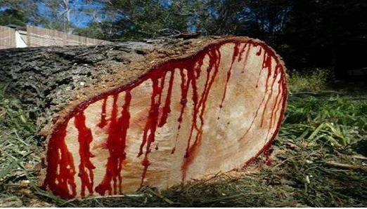 بالصور الشجرة التي تنزف دما , بالصور شجرة تنزف دما فى جنوب افريقيا 4960 1