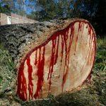 الشجرة التي تنزف دما , بالصور شجرة تنزف دما فى جنوب افريقيا