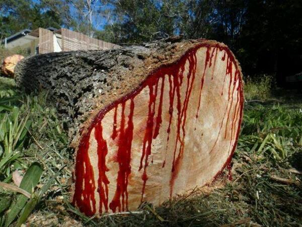 صوره الشجرة التي تنزف دما , بالصور شجرة تنزف دما فى جنوب افريقيا