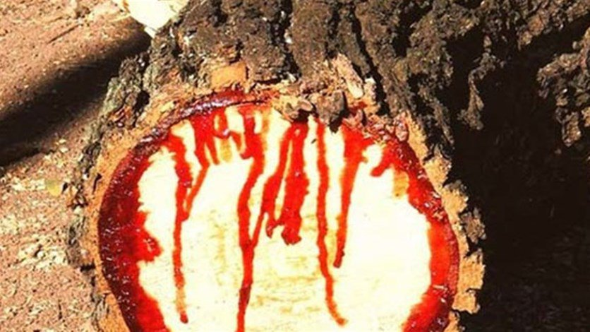 بالصور الشجرة التي تنزف دما , بالصور شجرة تنزف دما فى جنوب افريقيا 4960 12