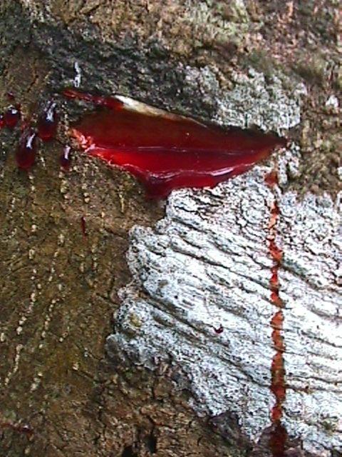 بالصور الشجرة التي تنزف دما , بالصور شجرة تنزف دما فى جنوب افريقيا 4960 13