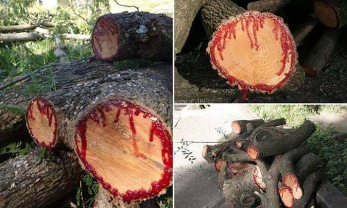 بالصور الشجرة التي تنزف دما , بالصور شجرة تنزف دما فى جنوب افريقيا 4960 15