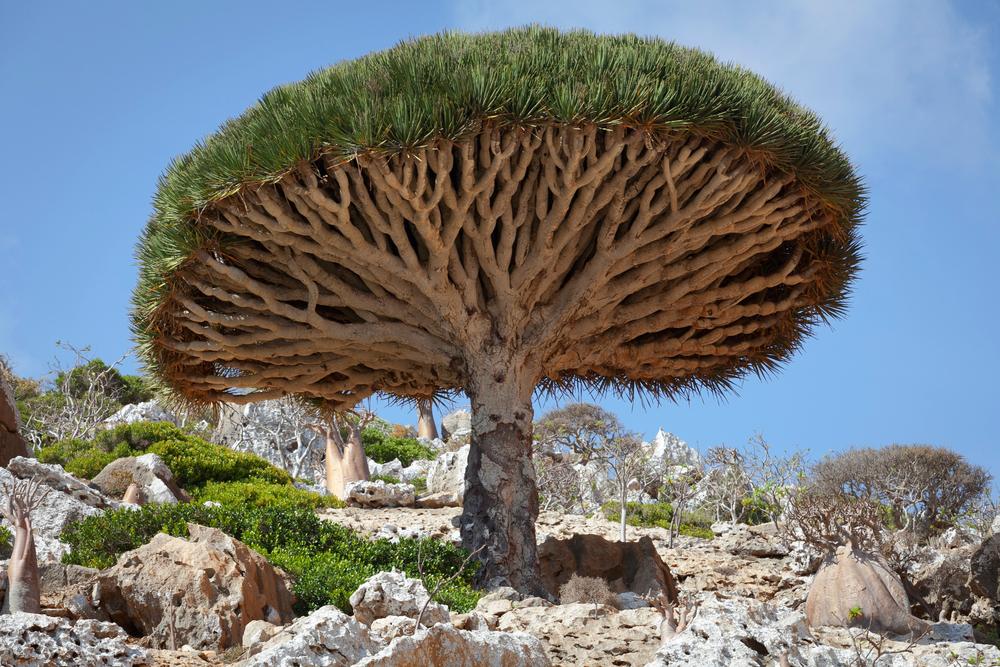 بالصور الشجرة التي تنزف دما , بالصور شجرة تنزف دما فى جنوب افريقيا 4960 16