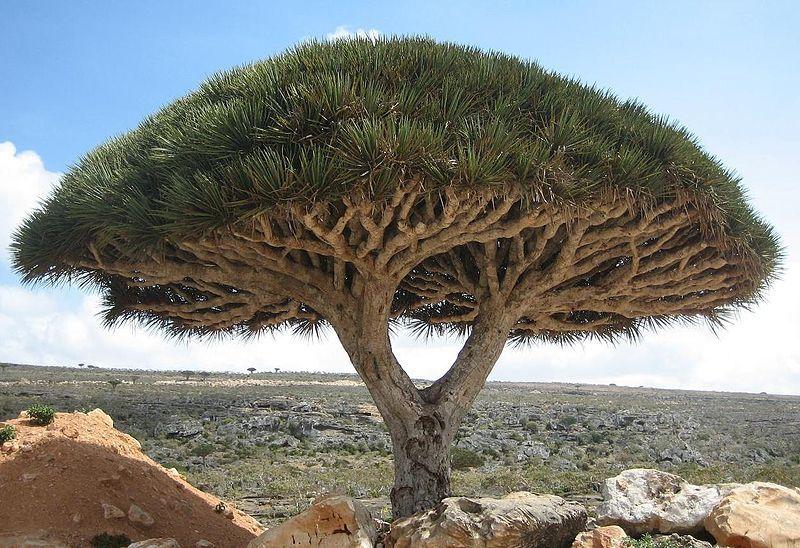 بالصور الشجرة التي تنزف دما , بالصور شجرة تنزف دما فى جنوب افريقيا 4960 17