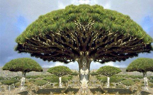 بالصور الشجرة التي تنزف دما , بالصور شجرة تنزف دما فى جنوب افريقيا 4960 18