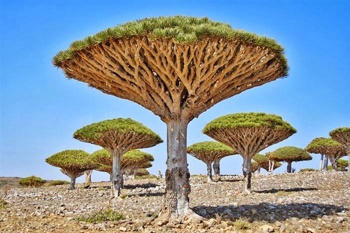 بالصور الشجرة التي تنزف دما , بالصور شجرة تنزف دما فى جنوب افريقيا 4960 19