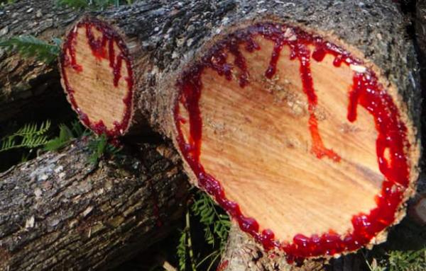 بالصور الشجرة التي تنزف دما , بالصور شجرة تنزف دما فى جنوب افريقيا 4960 20