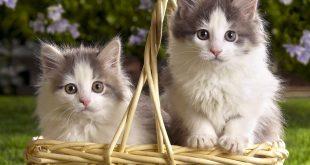 بالصور قطط جميلة جدا , احلي الخلفيات لسطح المكتب