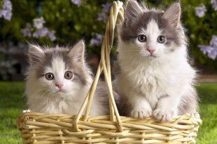 صوره بالصور قطط جميلة جدا , احلي الخلفيات لسطح المكتب
