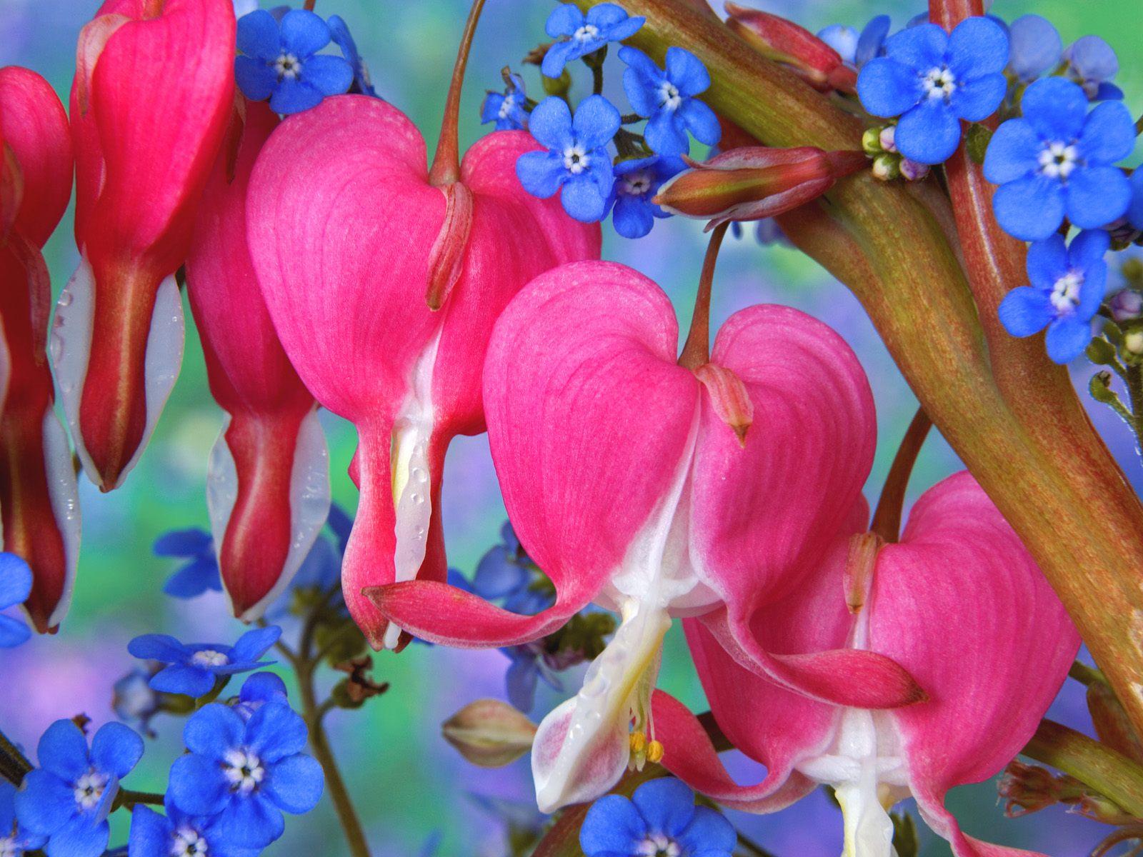 صورة زهرة نادرة اسمها نزيف القلب , صور لزهرة الجمال القاتل