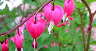 صوره زهرة نادرة اسمها نزيف القلب , صور لزهرة الجمال القاتل