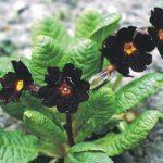 معلومات عن زهرة السوسنة السوداء , اجمل صور الزهرة السوداء